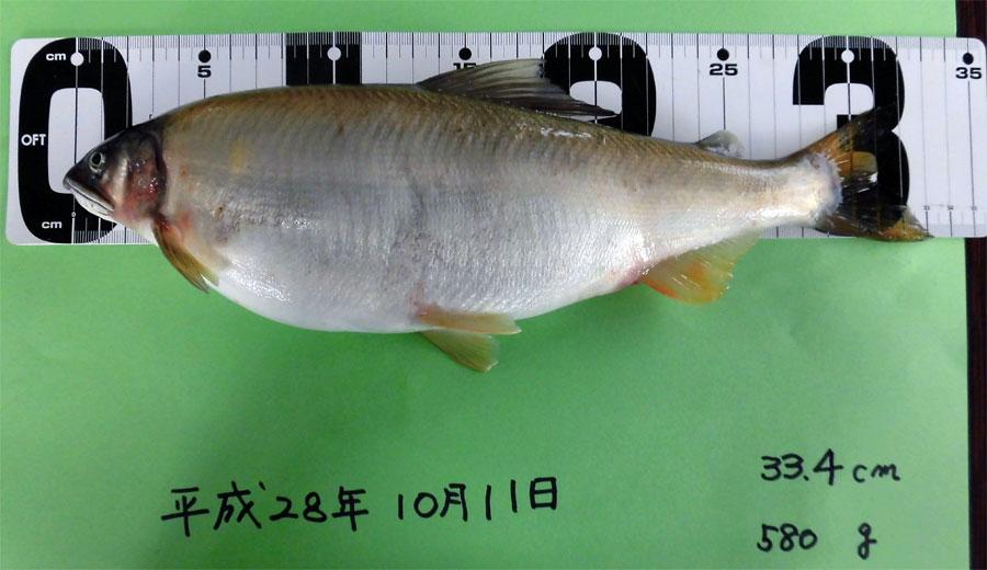 33.4cm/580gの鮎